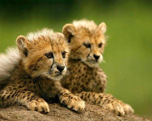 bebe leopard